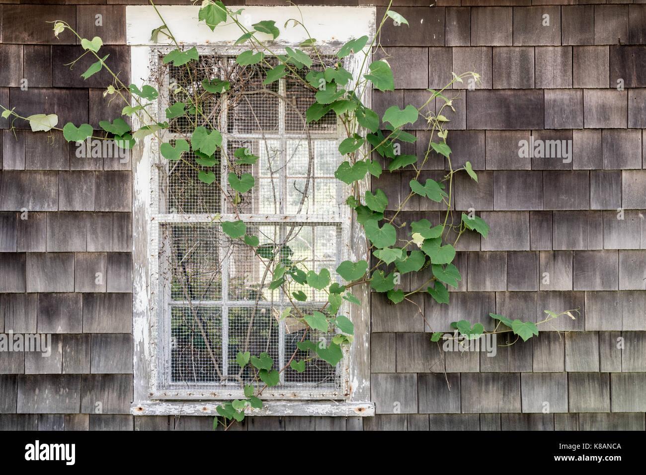 Ivy Covered Window Along Borden Brook, Tiverton, Rhode Island - Stock Image