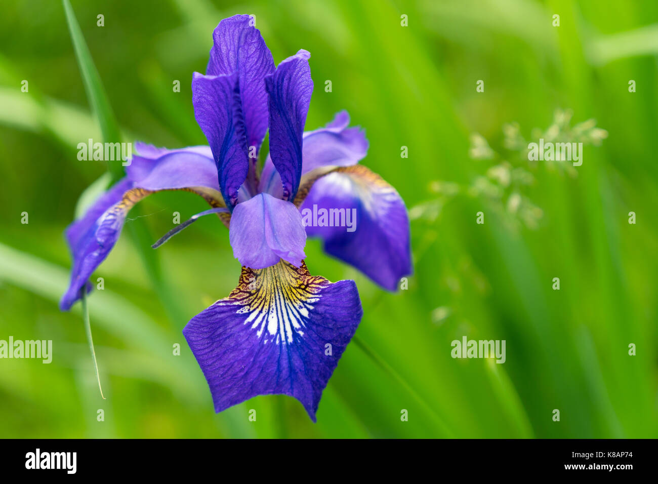 Purple Bearded Iris, Jamestown, Rhode Island - Stock Image