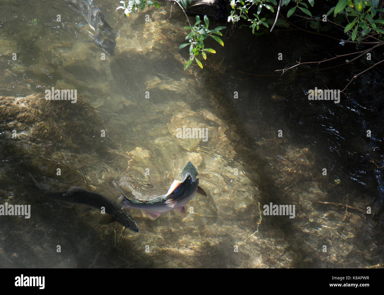 Pink salmon during a summer spawning fish run in Pullen Creek near Skagway Alaska. - Stock Image