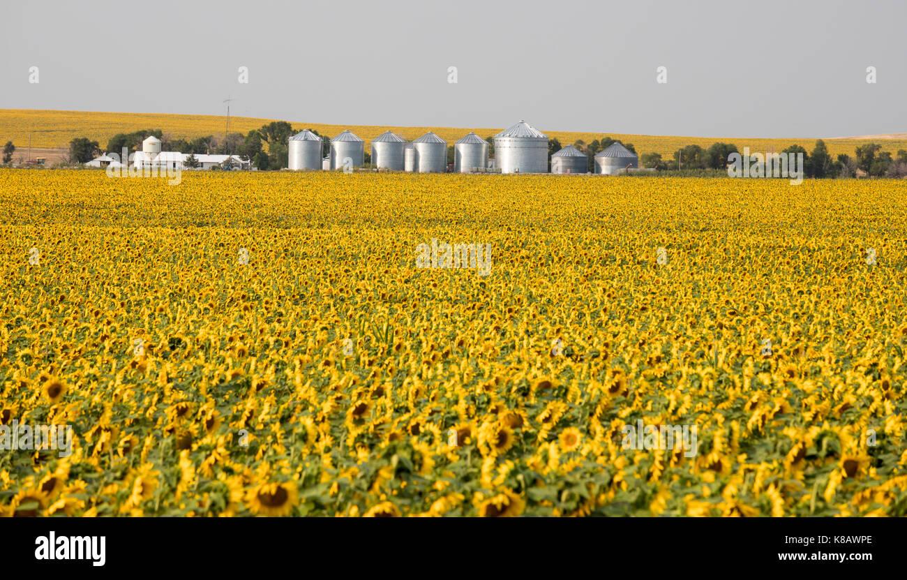 Pine Ridge, South Dakota - Sunflowers growing on a farm on the Pine Ridge Indian Reservation. - Stock Image