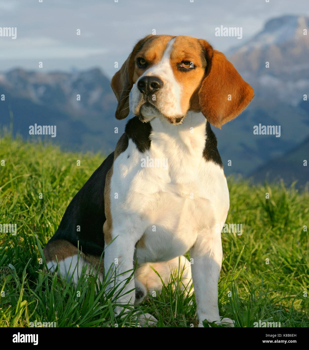 Beagle Ruede sitzt in Wiese Beagle sitting in meadow - Stock Image