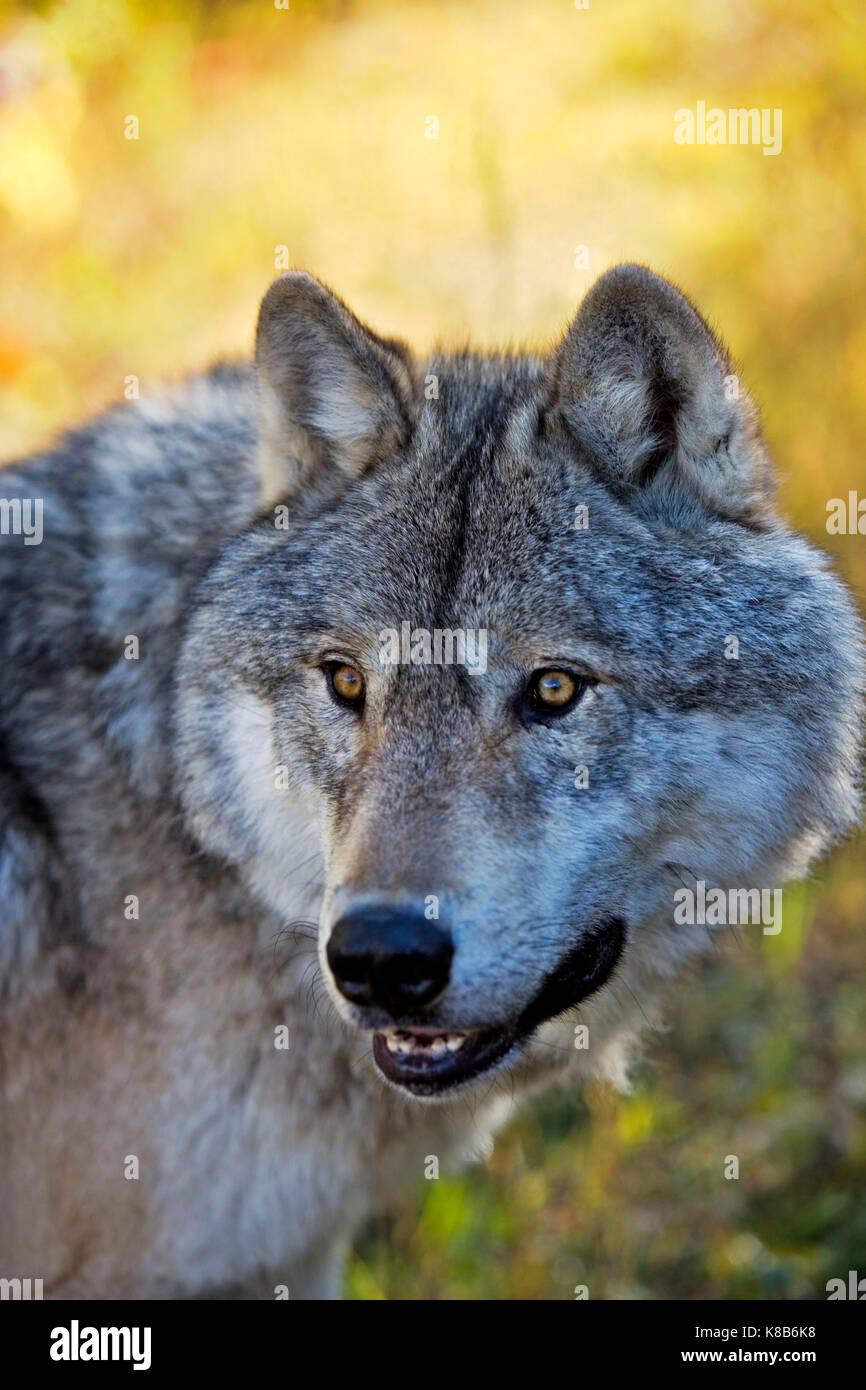 Timberwolf Head Stock Photos & Timberwolf Head Stock Images - Alamy