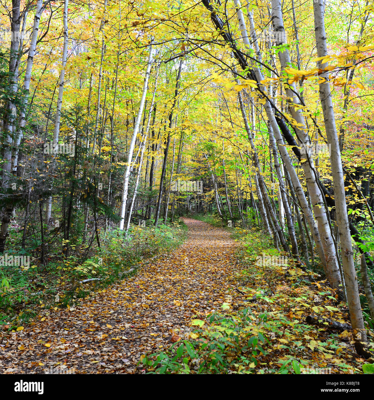 Forest trail through the Sacandaga Pathway in the Adirondack Park in autumn. - Stock Image