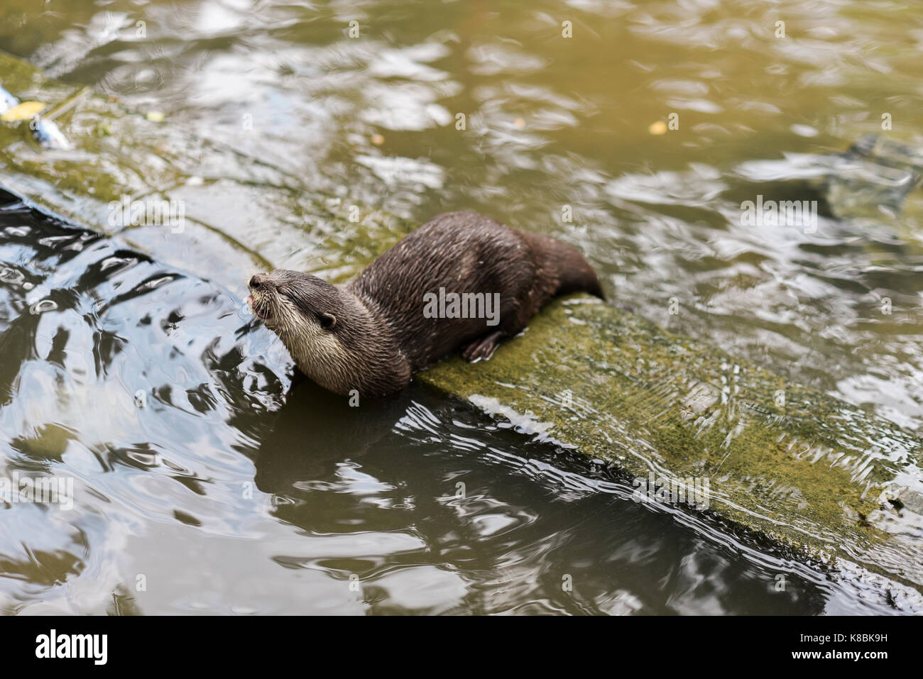 Photo of an animal called Asian Small-Clawed Otter - Scientific name : Aonyx Cinereus (selective focus) Stock Photo