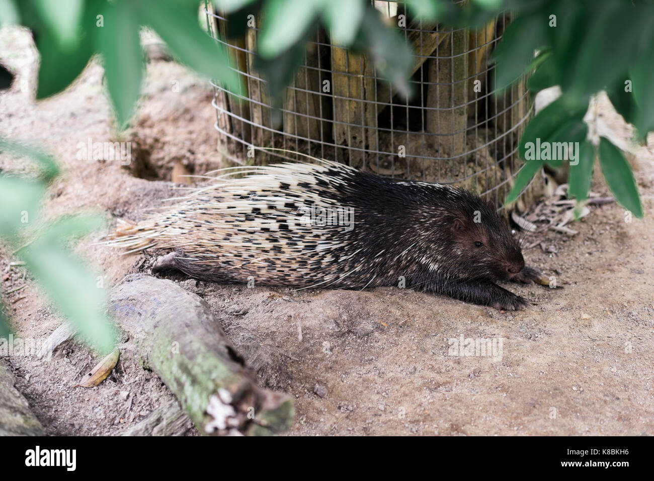 Photo of an animal called Malayan Porcupine - Scientific name - Hystrix Brachyura (Selective Focus) - Stock Image