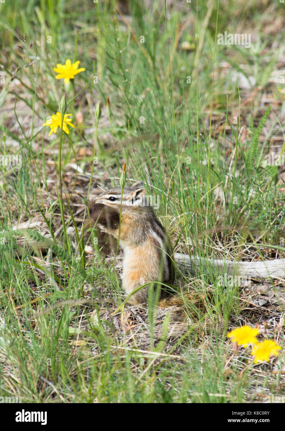 Chipmunk sitting upright with bison fur in its mouth. He is sitting among grass and flowers. - Stock Image