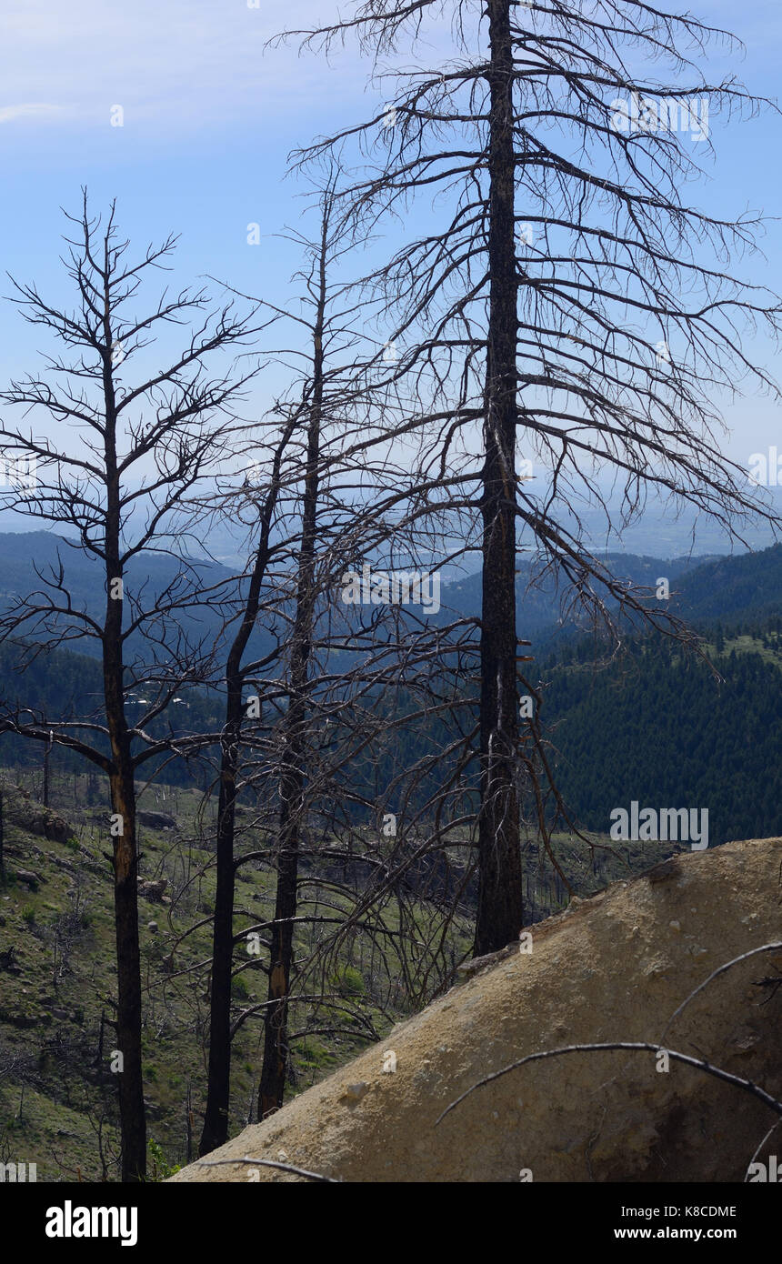 Severn years after the Four-Mile Fire west of Boulder, Colorado, in the Rocky Mountains, these burned tree skeletons - Stock Image