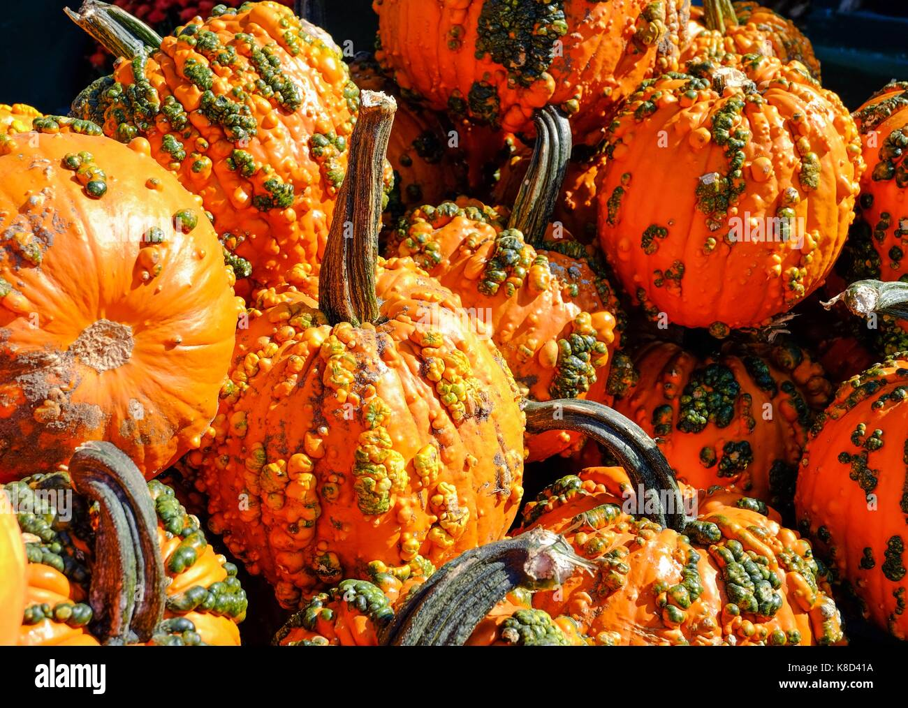 Pile of Pumpkins with Warts at a fresh market - Stock Image
