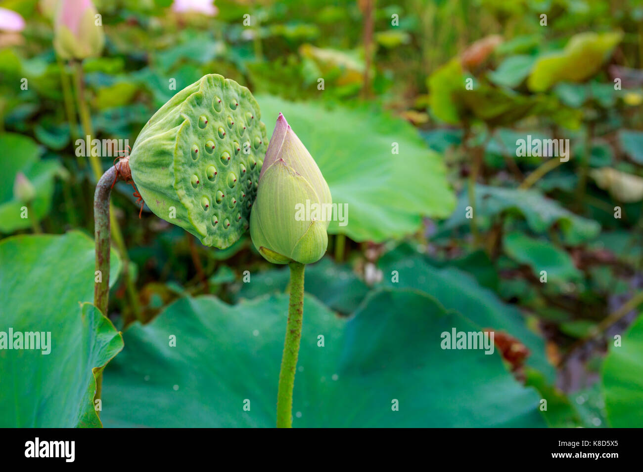 Amazing Lotus Fruit And Lotus Flower Kissing In A Quiet Tropical