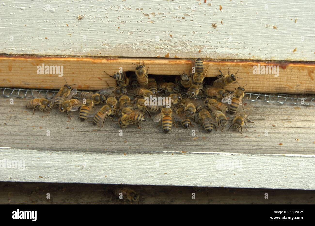 Honey Bees At The Entrance Of Their Hive - Stock Image