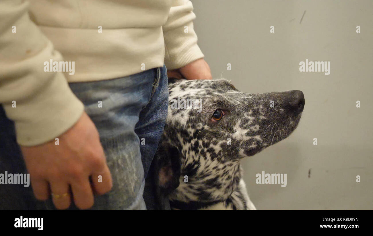 Dalmatian going on a walk. Dalmatians riding in the lift with the owner. The dog loves to ride in the Elevator - Stock Image
