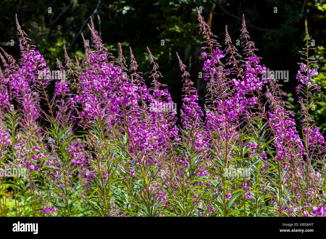 Chamaenerion angustifolium, commonly known in North America as fireweed in Northwest Washington State Stock Photo