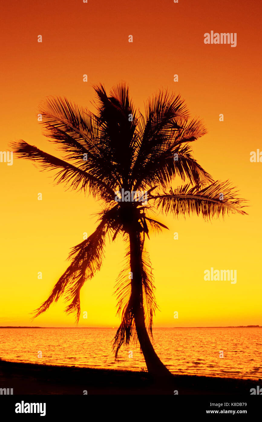 Coconut Palm at sunset, Sanibel Island, Florida, USA / (Cocos nucifera) | Kokospalme bei Sonnenuntergang, Sanibel - Stock Image