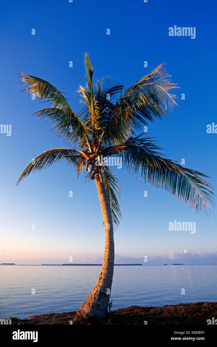 Coconut Palm, Everglades national park, Florida, USA / (Cocos nucifera) | Kokospalme, Everglades Nationalpark, Florida, - Stock Image