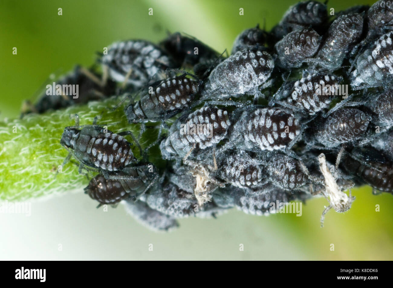 Colony of waxy willowherb aphids, Aphis epilobiaria, on a weed species, broad-leaved willowherb, Epilobium montanum - Stock Image
