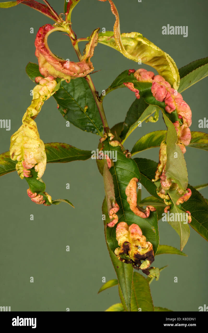 Peach leaf curl, Taprina deformans, fungal disease distortion of leaves on a young peach tree, Berkshire, September - Stock Image