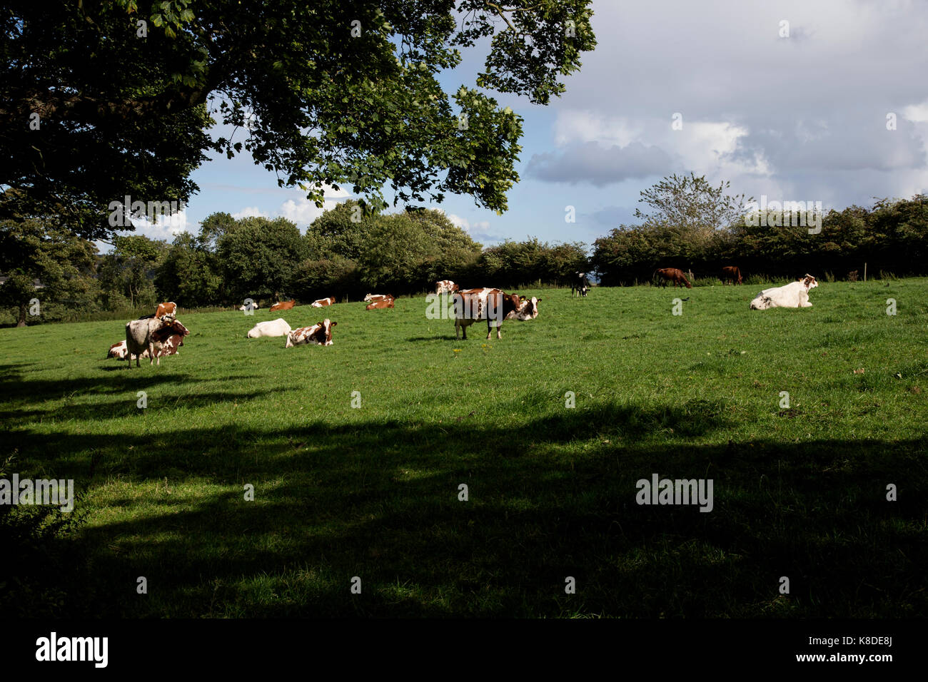 British cows grazing in grassy meadow in summer - Stock Image