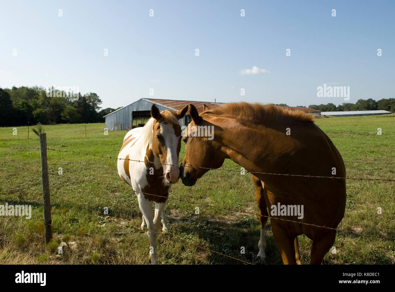 Two horses kissing, USA. Concept of love and attraction. - Stock Image