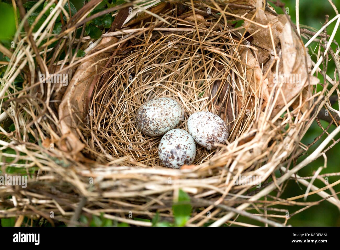 Northern Cardinal bird eggs in nest - Virginia USA - Stock Image