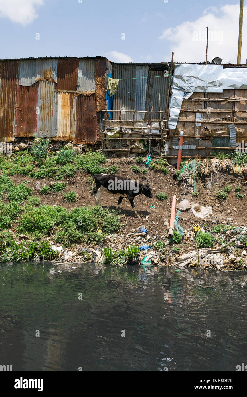Slum shacks line the Ngong river which is polluted with rubbish, plastic waste and garbage, a cow can be seen walking - Stock Image