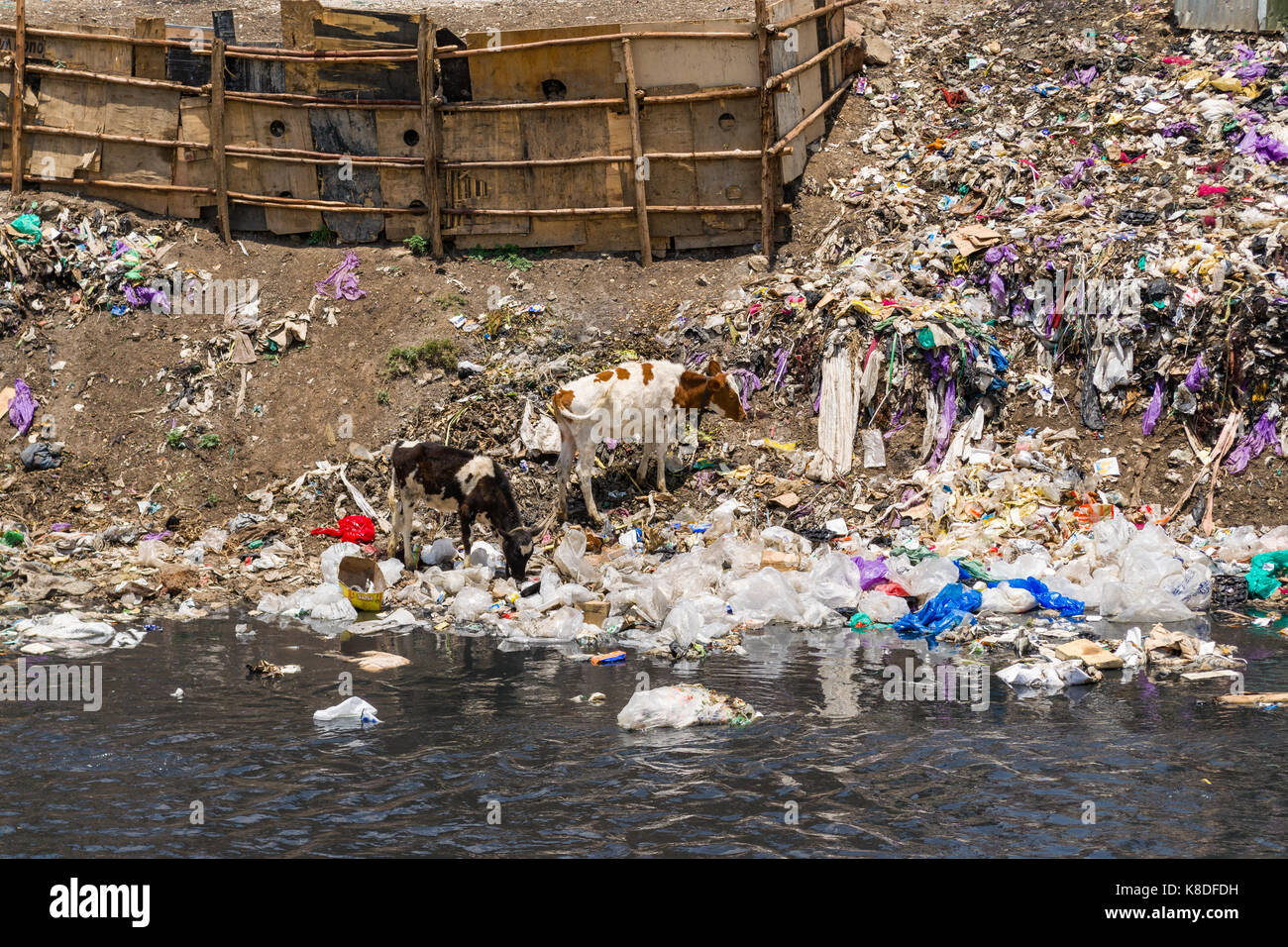 Slum shacks line the Ngong river which is polluted with rubbish, plastic waste and garbage, a herd of cows can be - Stock Image