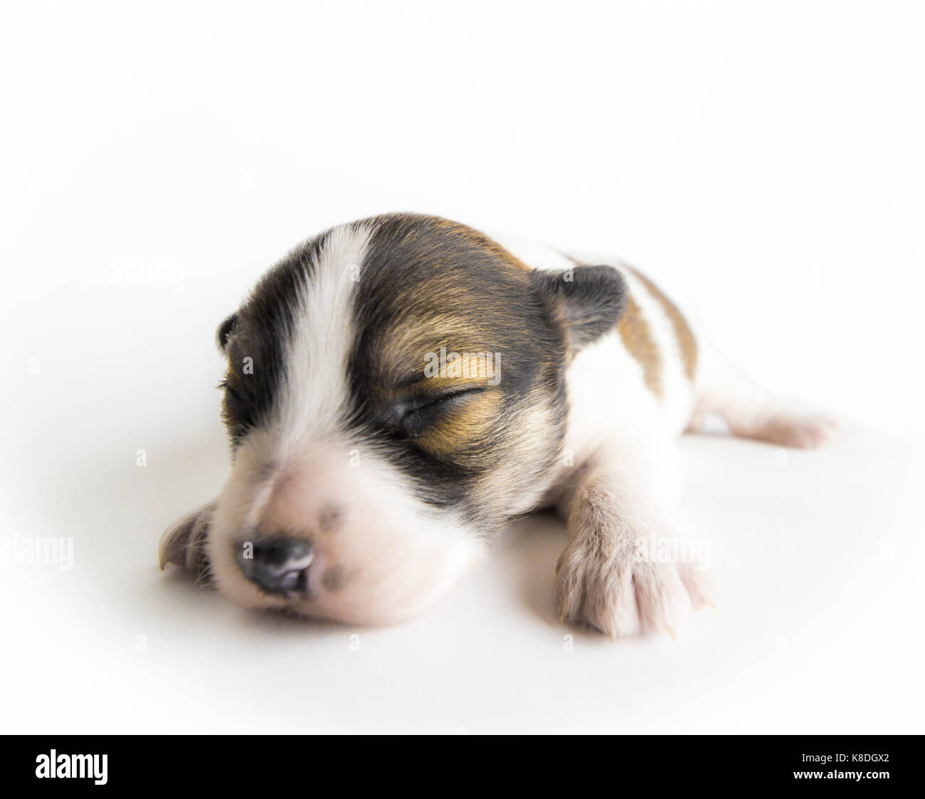 A newborn blind puppy of brown coloring close-up on a white background. - Stock Image