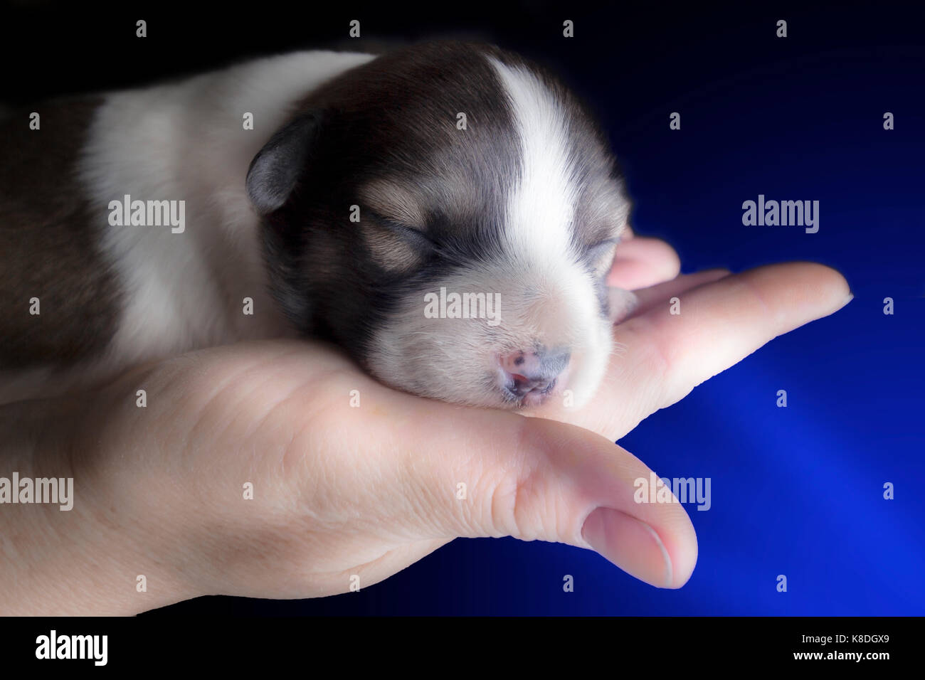 Newborn puppy in the palm on a black background. - Stock Image