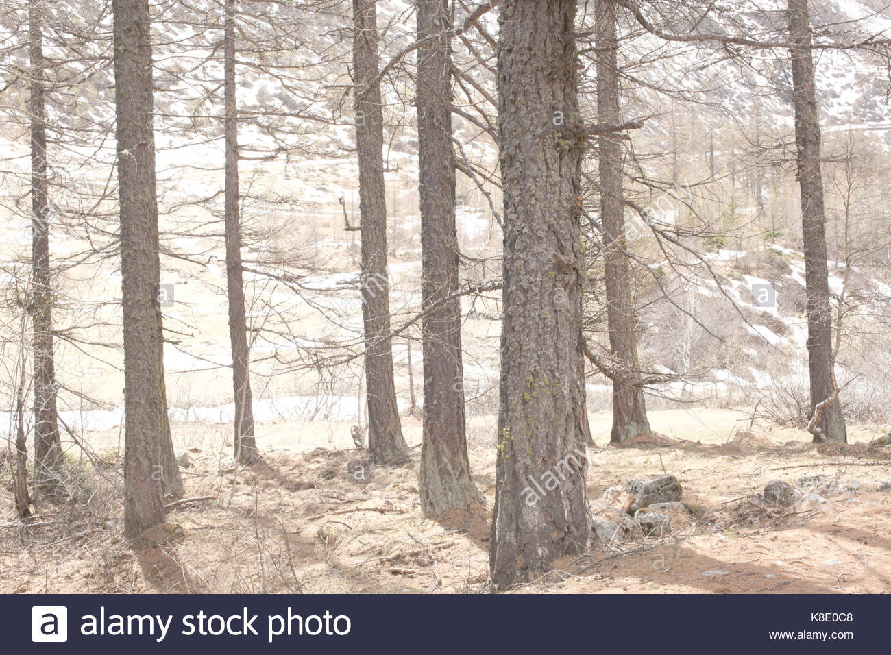 larches trees in warm backlighting Stock Photo