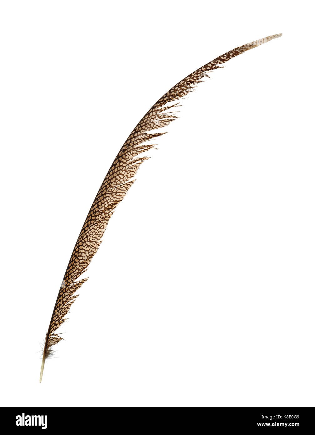 Pheasant tail feather isolated on white Stock Photo