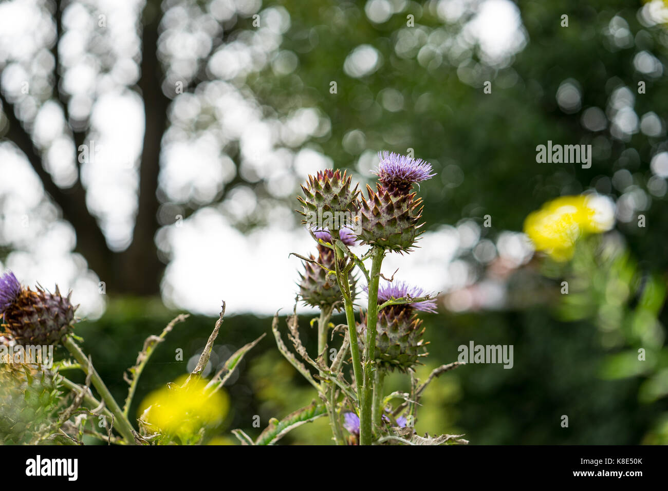 Milk Thistle in full bloom growing in the garden. The plant is used both as medicine and as a health diet supplement. - Stock Image
