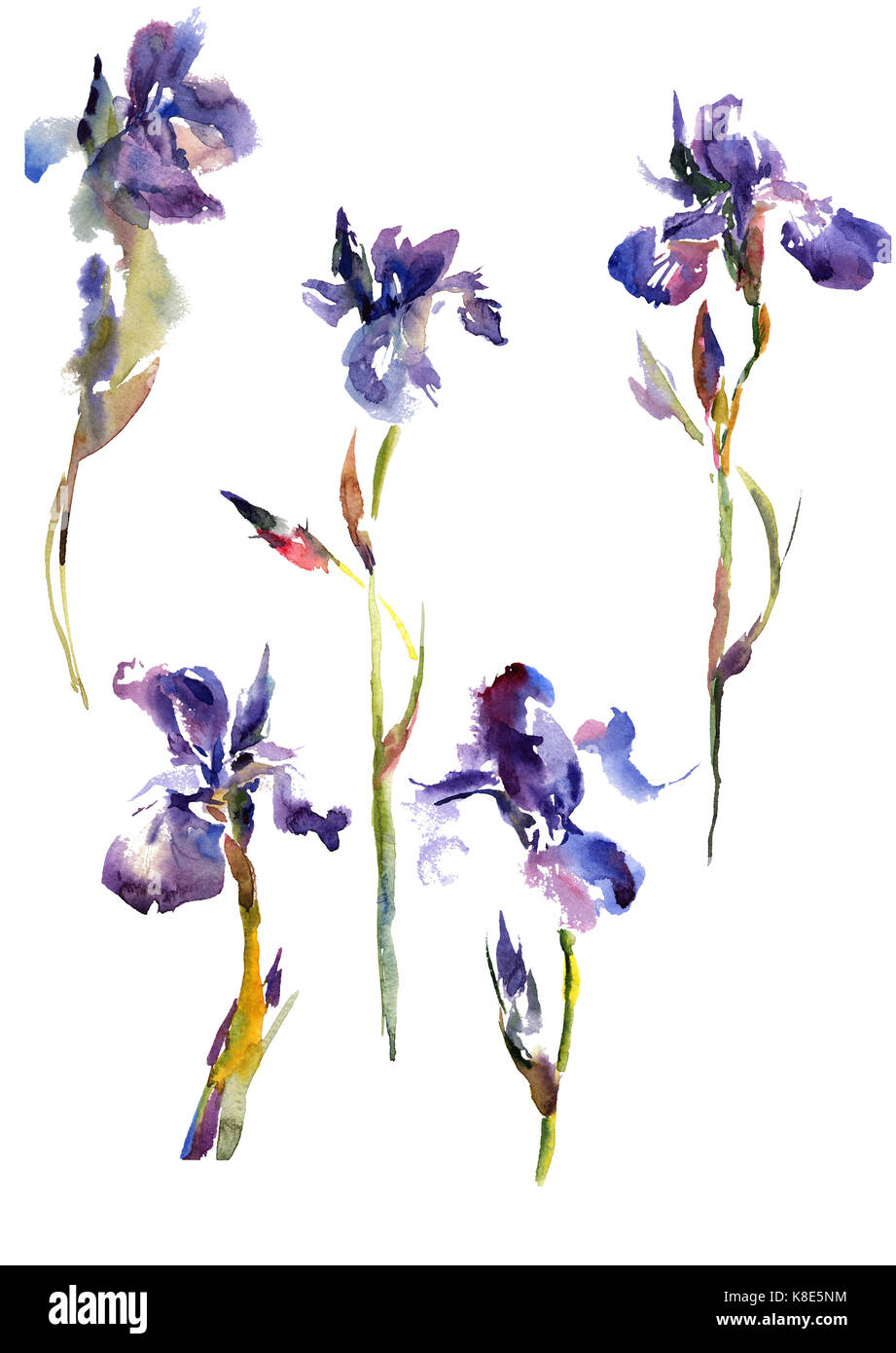 Collection watercolor hand drawing summer iris flowers - Stock Image