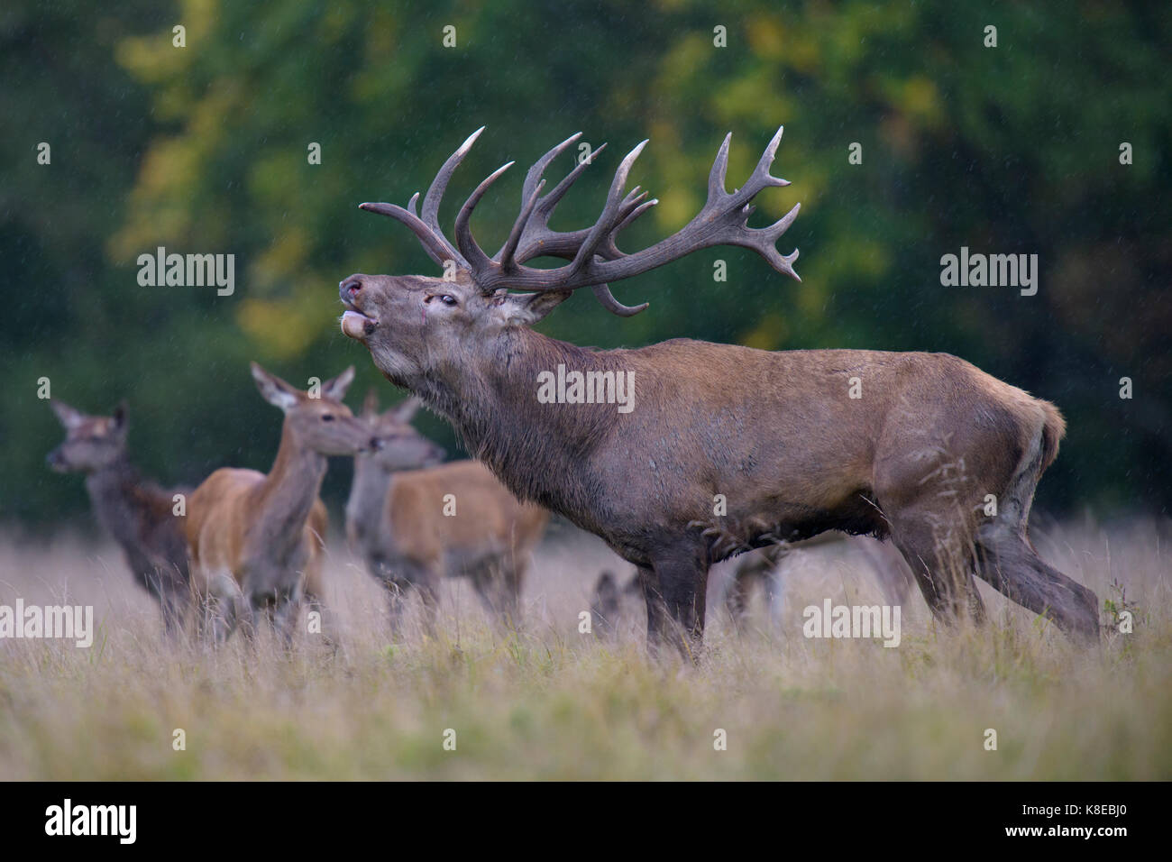 Red deer (Cervus elaphus), roaring, capitalized Brunfthirsch stands in a meadow with Brunftrudel, Kahlwild, bei - Stock Image