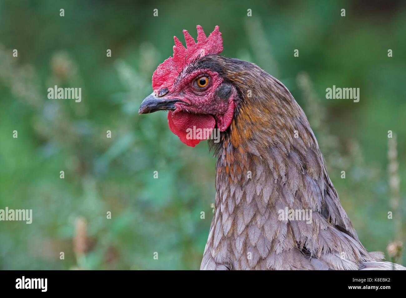 Domestic chicken, portrait, hen breed Marans - Stock Image