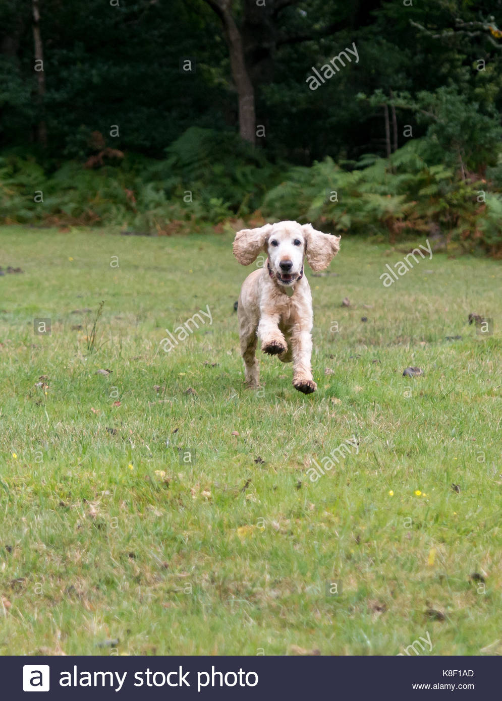 Golden English Cocker Spaniel dog running towards the camera with its floppy ears bouncing up. - Stock Image