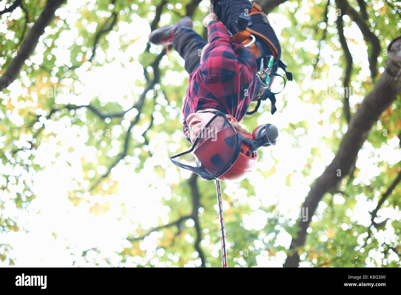 Trainee teenage male tree surgeon hanging upside down from tree branch - Stock Image