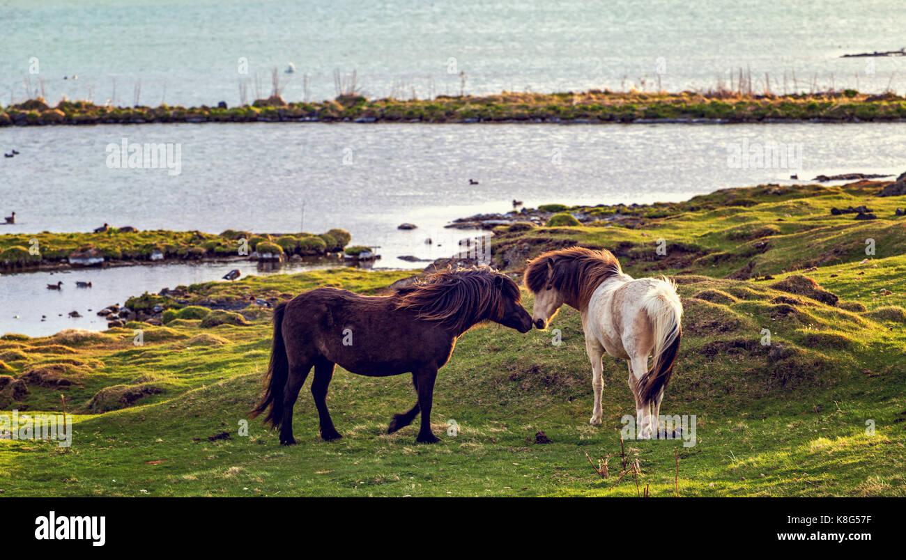 Lovely couple of Icelandic horses at sunset - Stock Image