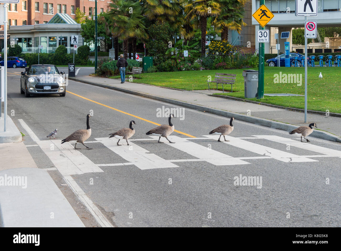 Vancouver, British Columbia, Canada - 13 September 2017: Canada geese crossing a road on a zebra crossing while Stock Photo