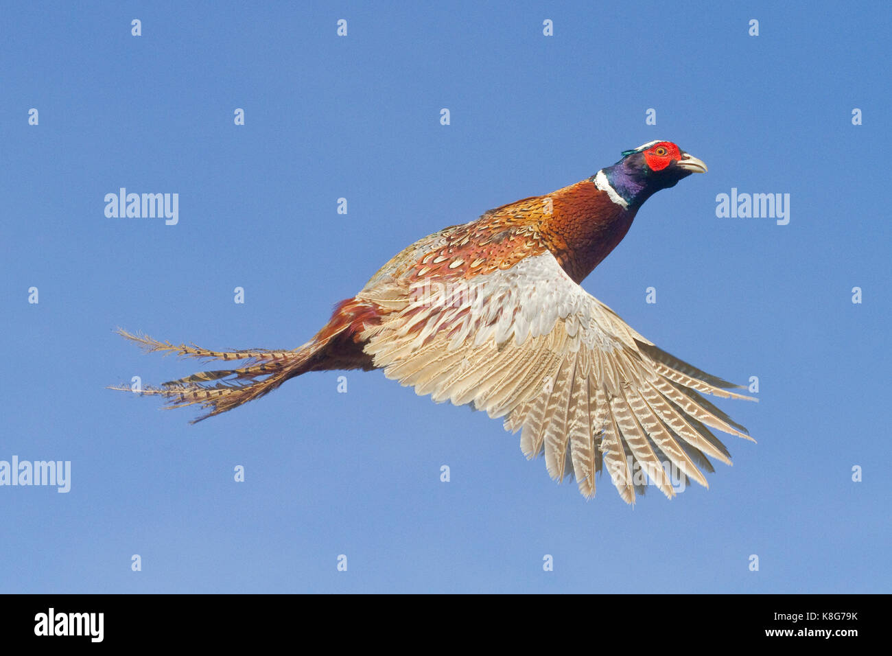 Ring-necked Pheasant in Flight - Stock Image
