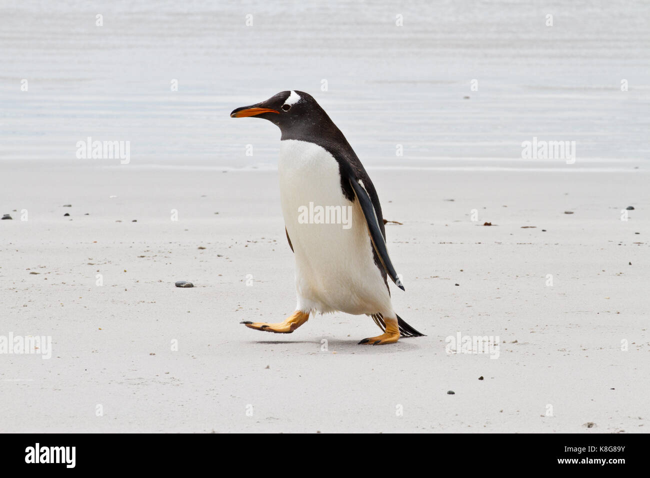 Gentoo penguin, Falkland Islands Stock Photo