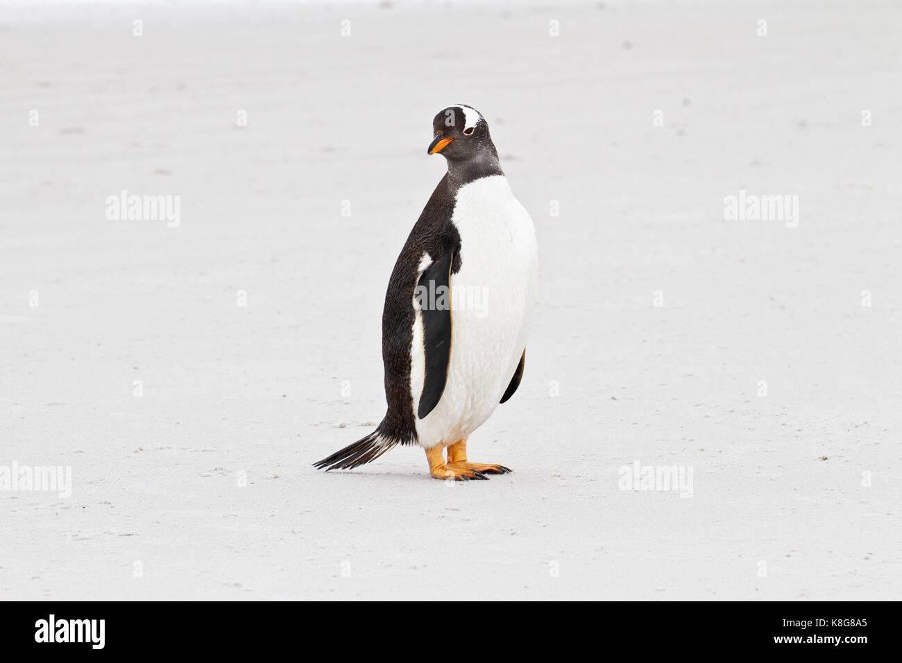 Gentoo penguin, Falkland Islands - Stock Image