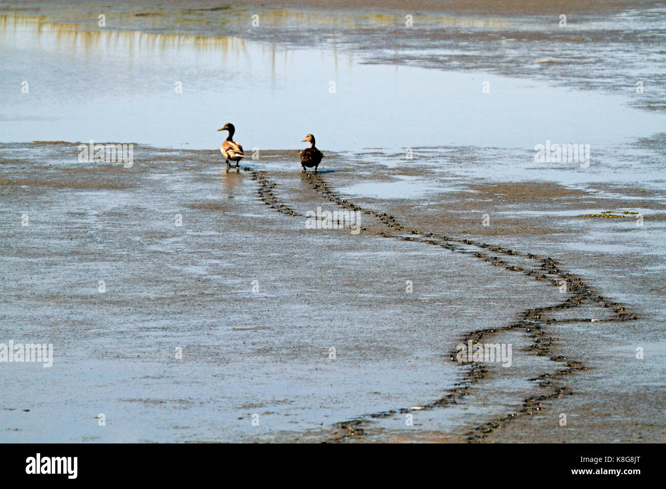 Male and female ducks wondering through a salt marsh in low tide. ewdin B. Forsythe NWR, New Jersey, USA - Stock Image