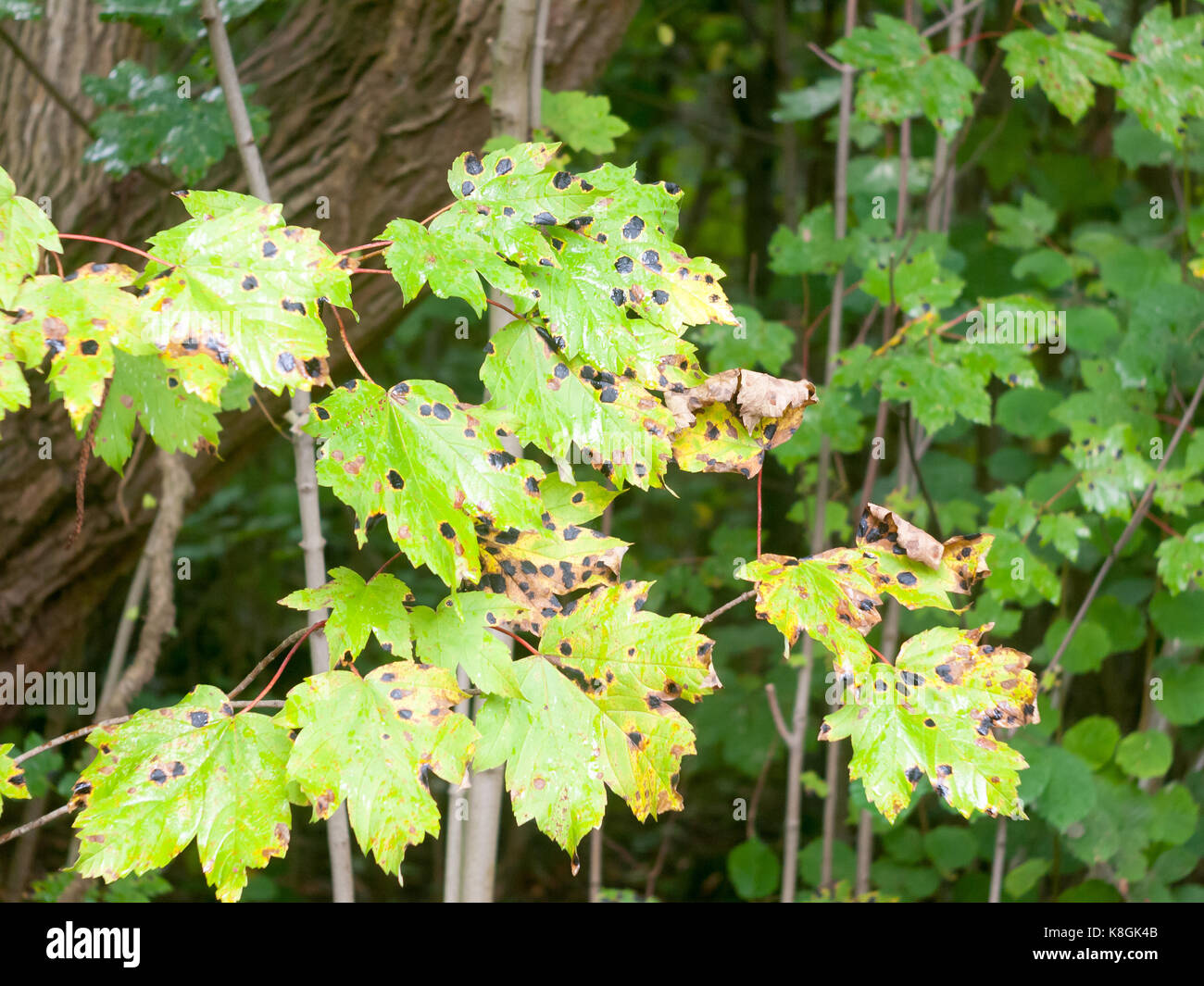 close up of black spot on green forest leaves - Stock Image