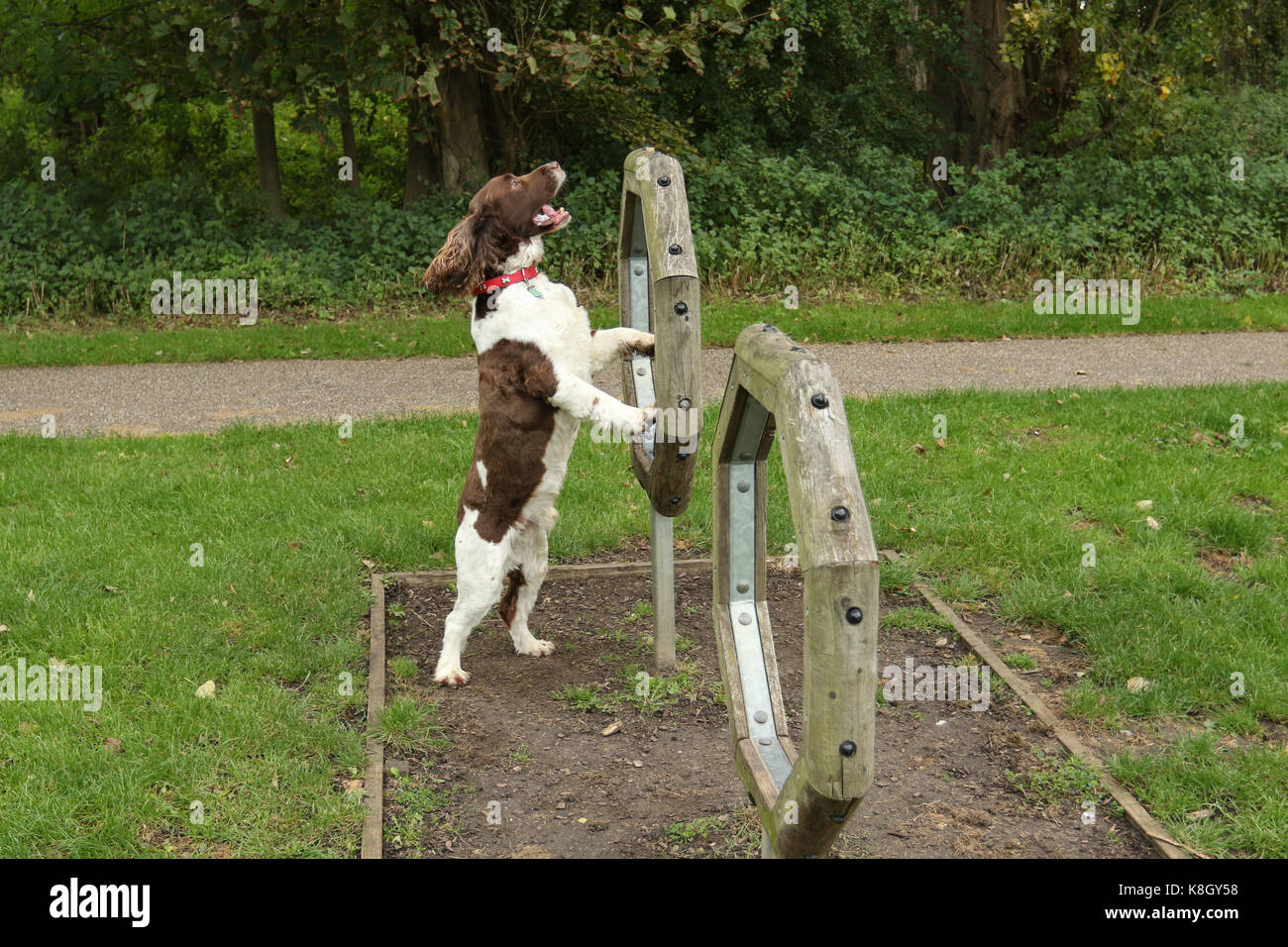 A cute English Springer Spaniel Dog (Canis lupus familiaris) attempting agility. Stock Photo