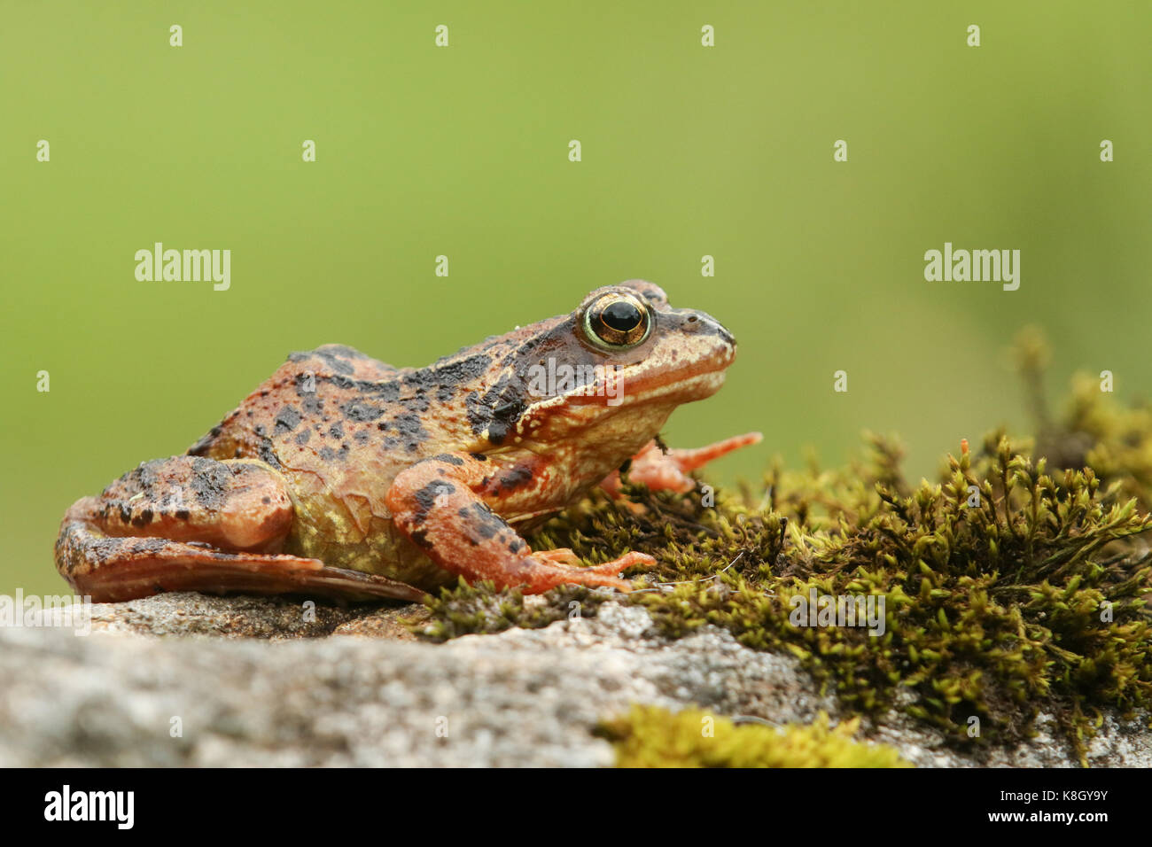 A Common Frog or European Common Frog (Rana temporaria) sitting on a rock covered in moss. Stock Photo