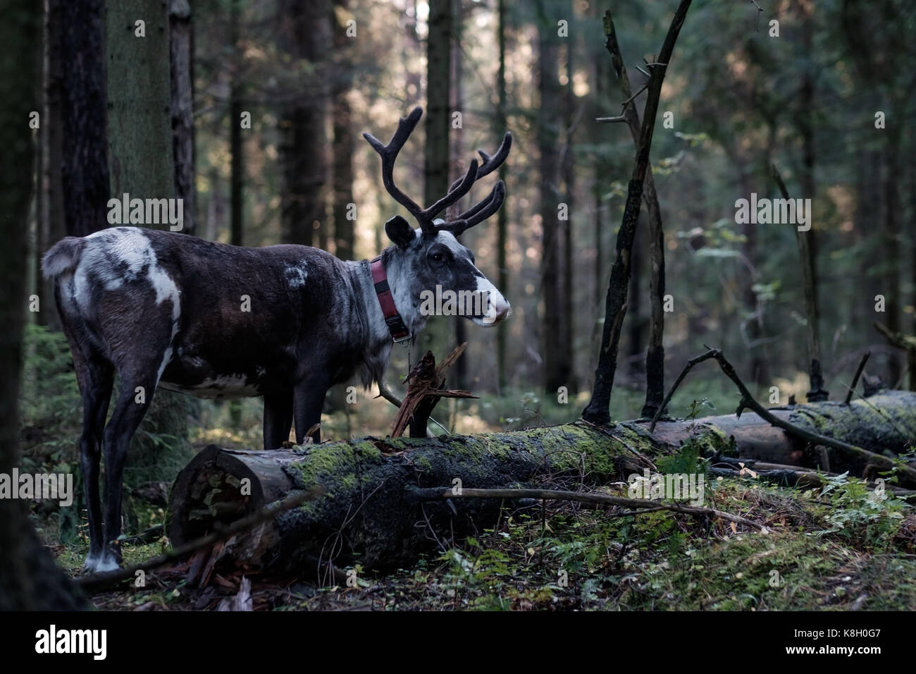 A reindeer with big horns walks through a dark forest in autumn. - Stock Image