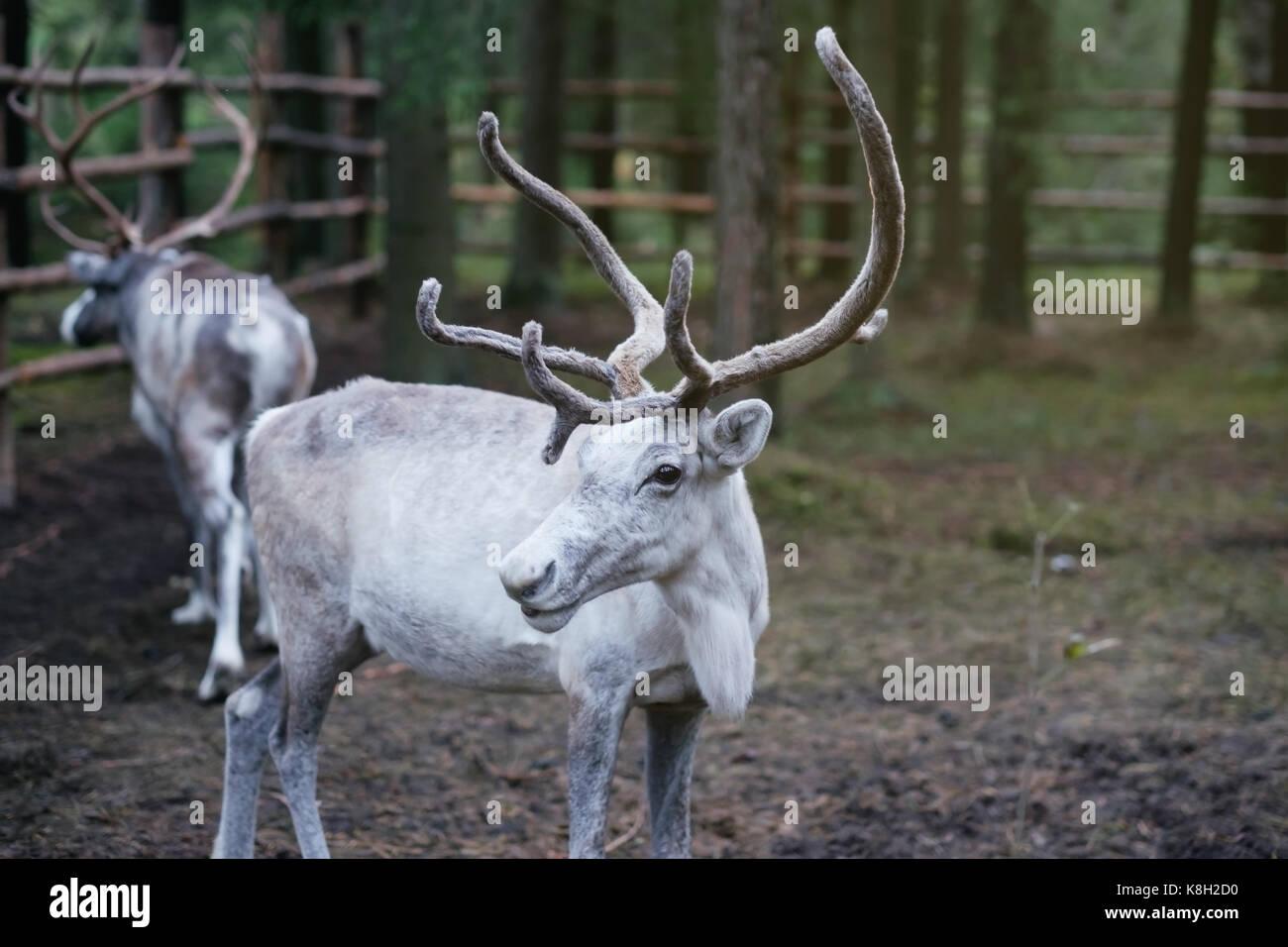 White female reindeer tarandus with huge horns in eco farm. - Stock Image