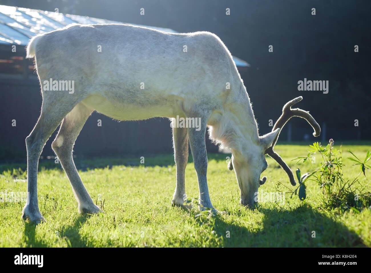 White female reindeer in eco farm. - Stock Image