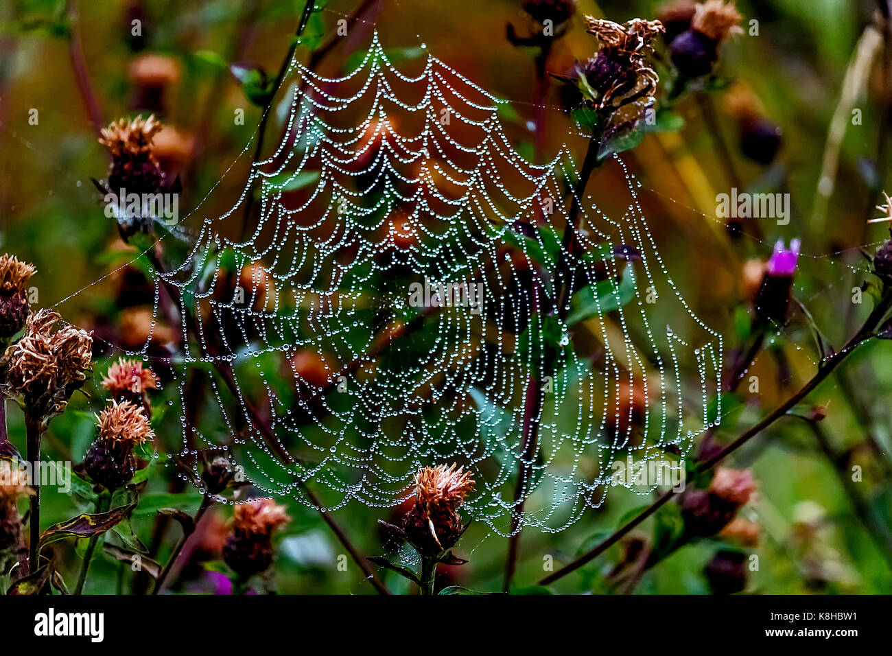 Dew covered spiders web - Stock Image