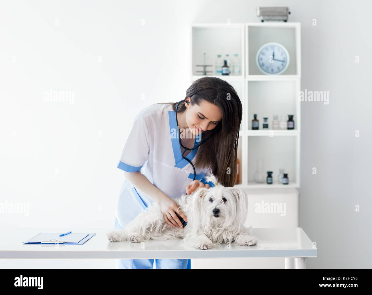 Beautiful smiling veterinarian doctor examining cute white dog in clinic - Stock Image