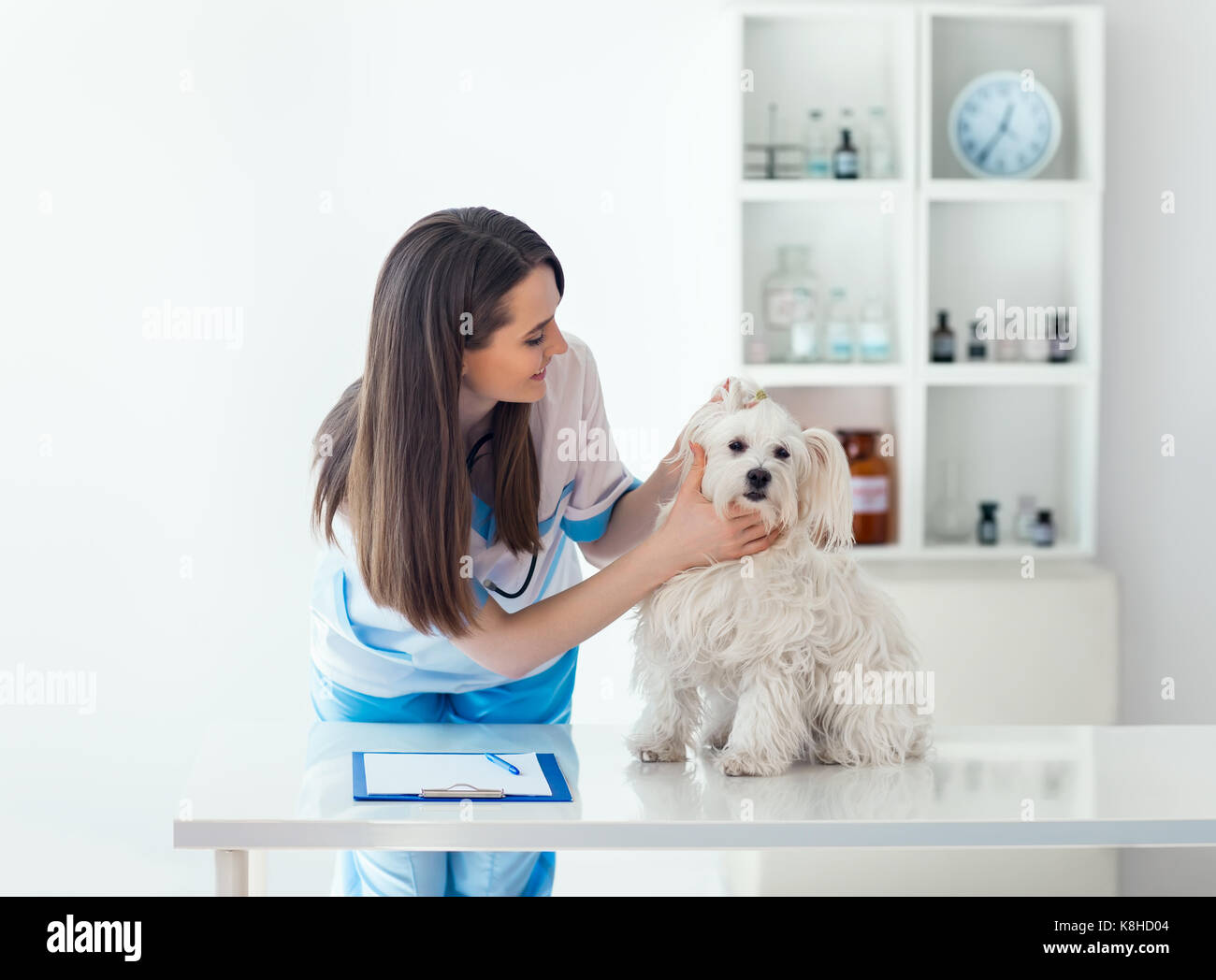 Beautiful veterinarian doctor examining cute white dog in clinic - Stock Image